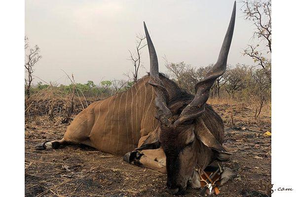 Голяма африканска антилопа Eland